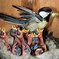 Great tit (Parus major) entering nestbox with caterpillar for chicks, Belgium