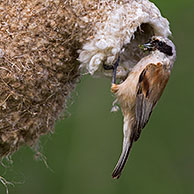European Penduline Tit (Remiz pendulinus) building nest in tree, Germany