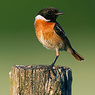 European Stonechat (Saxicola rubicola) male perched on fence post