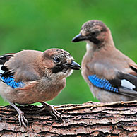 Two Eurasian Jays (Garrulus glandarius) perched on tree trunk in forest, Belgium
