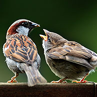 Male Common / House sparrow (Passer domesticus) feeding juveniles on garden fence, Belgium
