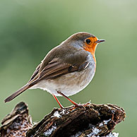 European Robin (Erithacus rubecula) perched on tree stump in forest in the snow in winter