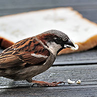 Male Common / House sparrow (Passer domesticus) eating discarded slice of bread, Belgium
