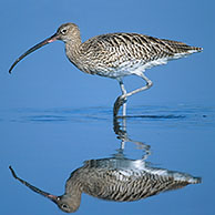 Curlew (Numenius arquata) foraging in shallow water of salt marsh, Belgium