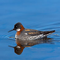 Red-necked Phalarope (Phalaropus lobatus) adult female swimming in breeding plumage, Sweden