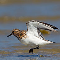 Sanderling (Calidris alba / Crocethia alba / Erolia alba) wading in shallow water along beach, Wadden Sea, Germany