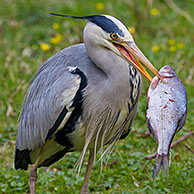 Grey Heron (Ardea cinerea) eating caught fish in beak, Germany