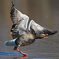 Greylag goose / graylag goose (Anser anser) calling while taking off from lake, Germany