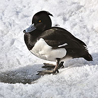 Tufted Duck (Aythya fuligula) male resting on ice of frozen shore of pond in winter, Germany