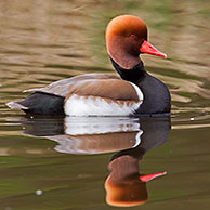 Red-crested pochard (Netta rufina) male swimming in lake, Germany