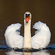 Mute swan (Cygnus olor) male swimming on lake and showing dominant aggressive posture, Germany