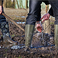 Man wearing rubber boots / wellies planting tree with spade in muddy soil, Belgium