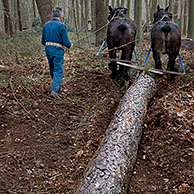 Foresters dragging tree-trunks from forest with draught horses (Equus caballus), Belgium