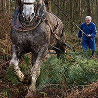 Foresters dragging tree-trunks from forest with draught horse (Equus caballus), Belgium