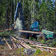 Logging industry showing timber / trees being sawed by forestry machinery / harvester / Timberjack in pine forest, Sweden