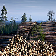 Clearing / deforestation and pile of cut logs / trees / timber in pine forest, Sweden