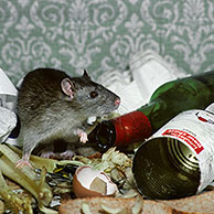 Brown rat (Rattus norvegicus) amongst household waste and rotten food