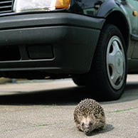 European hedgehog (Erinaceus europaeus) walking in front of car, Germany