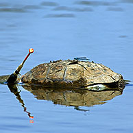Dead Spanish terrapins / Mediterranean pond turtle (Mauremys leprosa) killed by fishing line, Extremadura, Spain