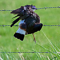 Dead lapwing (Vanellus vanellus) caught with wing in barbwire along field, Belgium