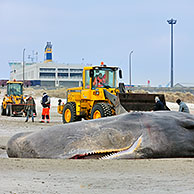 Stranded sperm whale (Physeter macrocephalus) on beach at Knokke, Belgium