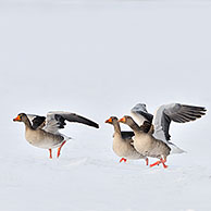 Greylag geese (Anser anser) taking off from snow covered field in winter, the Netherlands