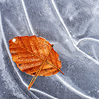 Autumn leaf of European Beech (Fagus sylvatica) on ice of frozen pond in winter