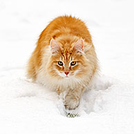 Norwegian Forest Cat (Felis catus) stalking prey in the snow in winter, the Netherlands