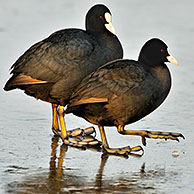 Eurasian Coot (Fulica atra) preening its feathers on frozen lake, the Netherlands