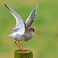 Common Redshank (Tringa totanus) with wings spread calling from fence post in meadow, the Netherlands