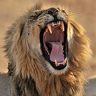 Male African lion (Panthera leo) yawning in the Kalahari desert, Kgalagadi Transfrontier Park, South Africa