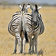 Burchell's Zebras (Equus quagga burchellii) resting on the savannah, Etosha National Park, Namibia