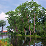 Poplars (Populus sp.) along the Damme Canal, Sluis, the Netherlands