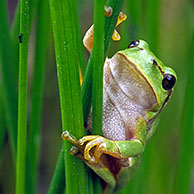 Common treefrog (Hyla arborea), the Netherlands