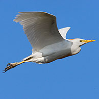 Cattle egret (Bubulcus ibis) in flight, Majorca