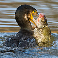 Cormorant (Phalacrocorax carbo) fishing and catching a Silver bream fish (Blicca bjoerkna) in a canal, Belgium
