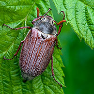 Common cockchafer (Melolontha melolontha) on leaf, Belgium, Europe