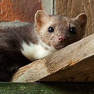 Beech marten (Martes foina) in attic, Germany