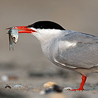 Common tern (Sterna hirundo) with fish in beak on beach at Zeebrugge, Belgium