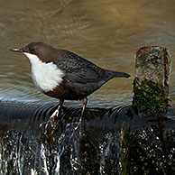 Wintering White-throated dipper / European dipper (Cinclus cinclus) standing in stream in winter, the Netherlands