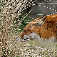 Red fox (Vulpes vulpes) sniffing a scent mark in the dunes near Zandvoort, Noord-Holland, the Netherlands