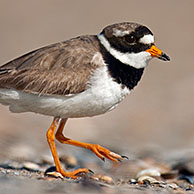 Common Ringed Plover (Charadrius hiaticula) on beach in Zeebrugge, Belgium