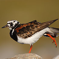 Stretching Turnstone (Arenaria interpres) on the look-out, Belgium