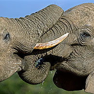 Two African elephants (Loxodonta africana) playfighting with their trunks, Addo Elephant National Park, South Africa