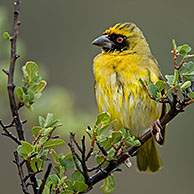 Southern Masked Weaver / African Masked Weaver (Ploceus velatus) male perched in tree, Karoo National Park, South Africa