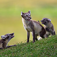 Arctic fox (Vulpes lagopus / Alopex lagopus) adult and cubs at den on the tundra in summer, Lapland, Sweden