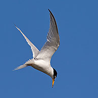 Little Tern (Sternula albifrons / Sterna albifrons) hovering prior to diving for fish