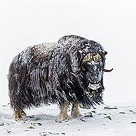 Muskox bulls (Ovibos moschatus) two males fighting by headbutting on snow covered tundra in winter, Dovrefjell–Sunndalsfjella National Park, Norway