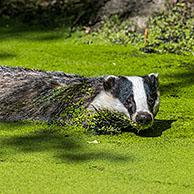 European badger (Meles meles) swimming in water of pond / pool covered in duckweed