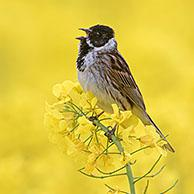 Common reed bunting (Emberiza schoeniclus) male calling / singing in flowering rape field / rapeseed field in spring